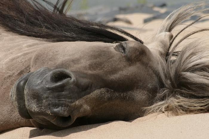 Hästens vila och sömn